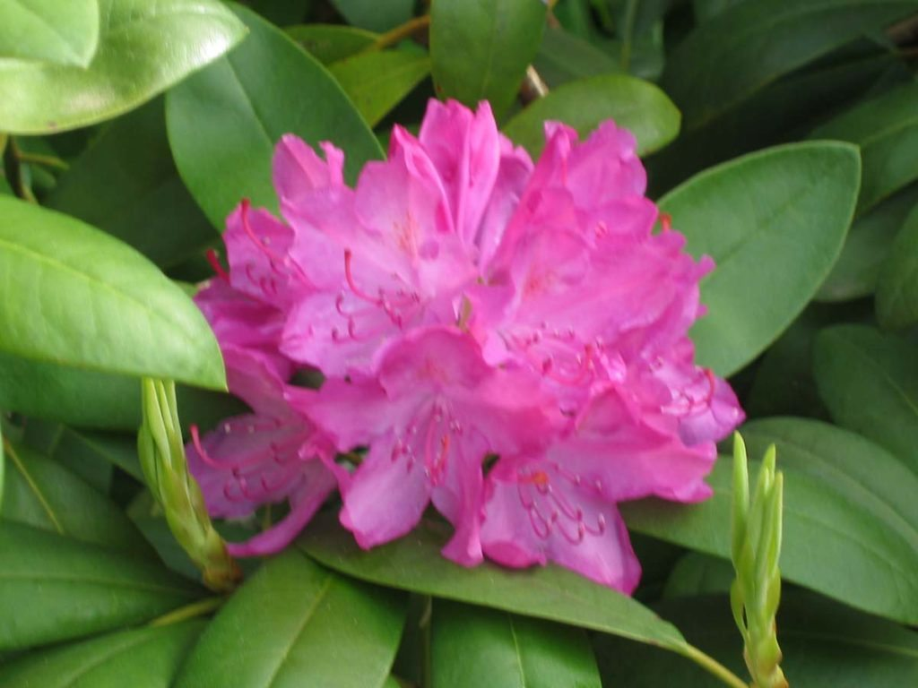 plants rhododendron