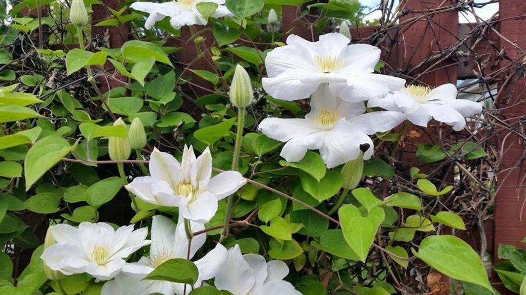 plants clematis