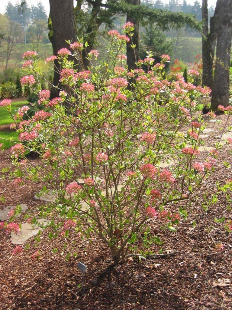 viburnum burwood landscape design