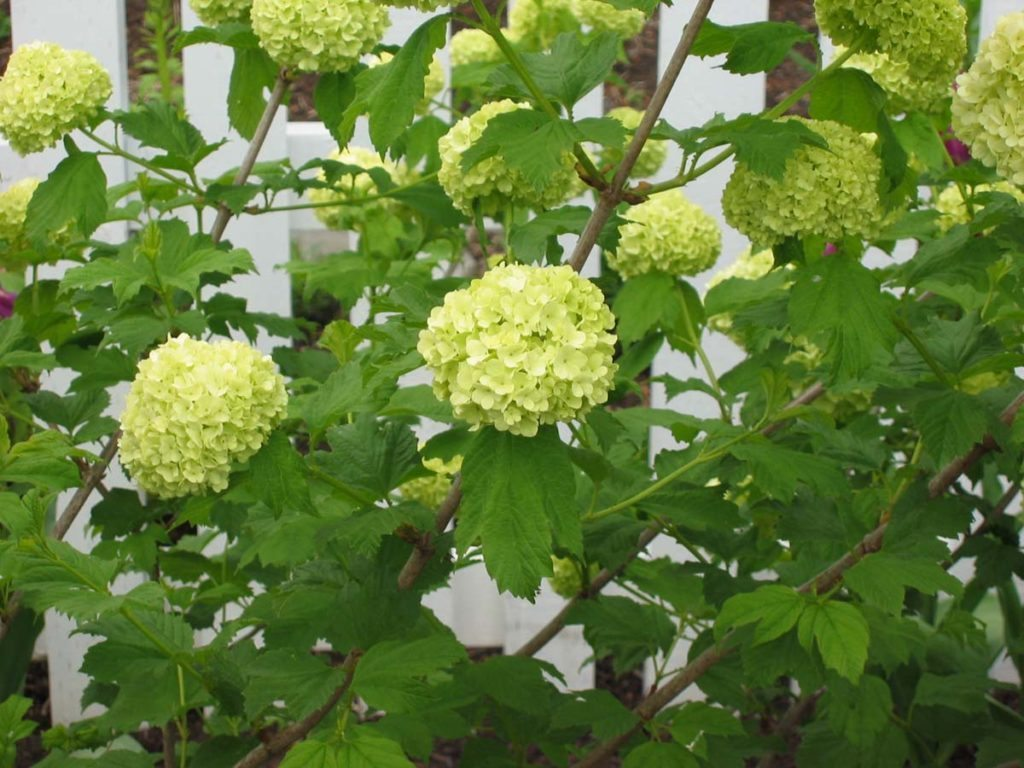 plants viburnum opulus in salem oregon