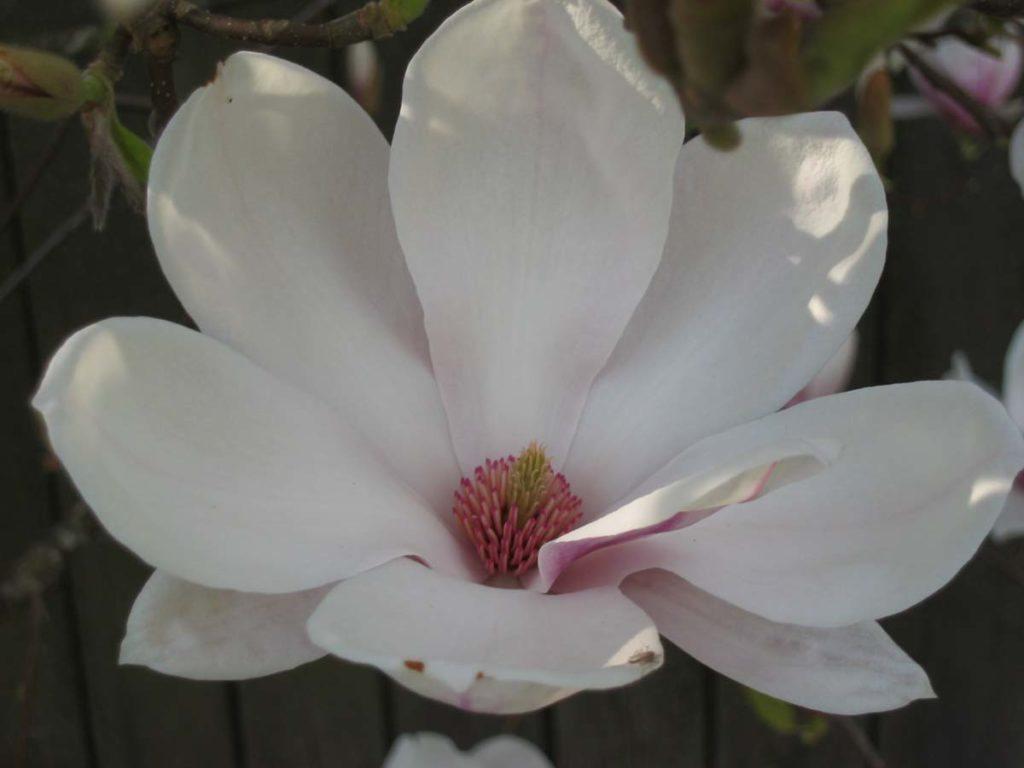 plants magnolia