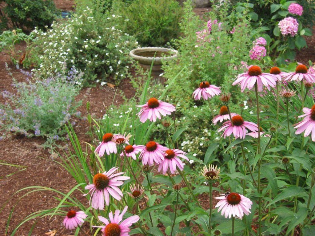 plants echinacea purpurea