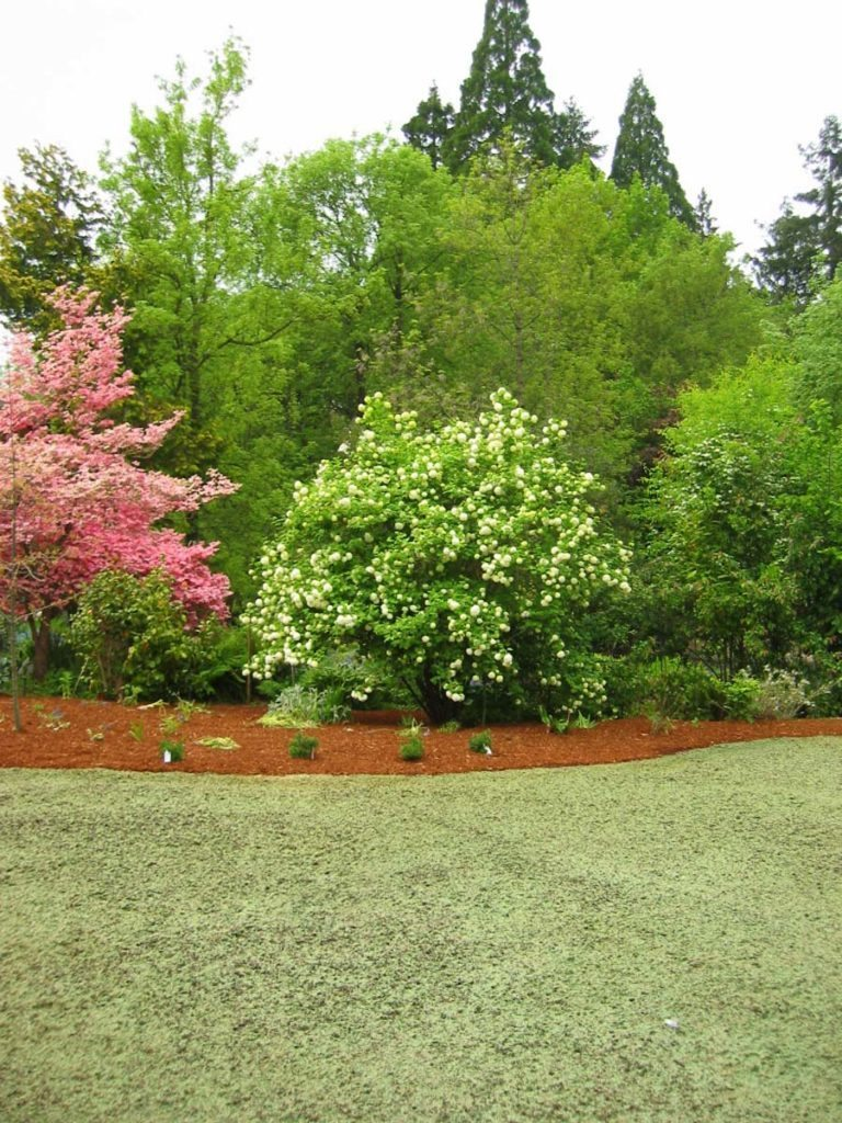 plants-viburnum opulus with hydroseeded lawn landscape design