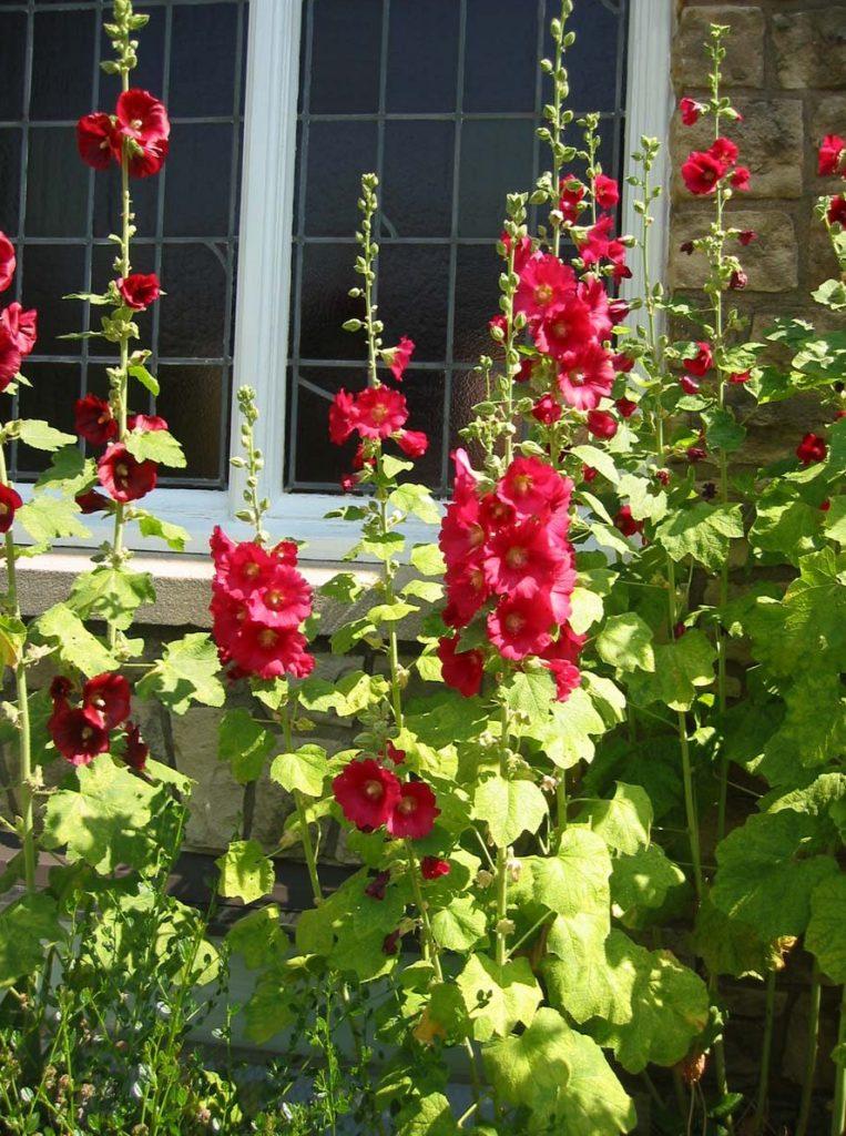plants alcea rosea