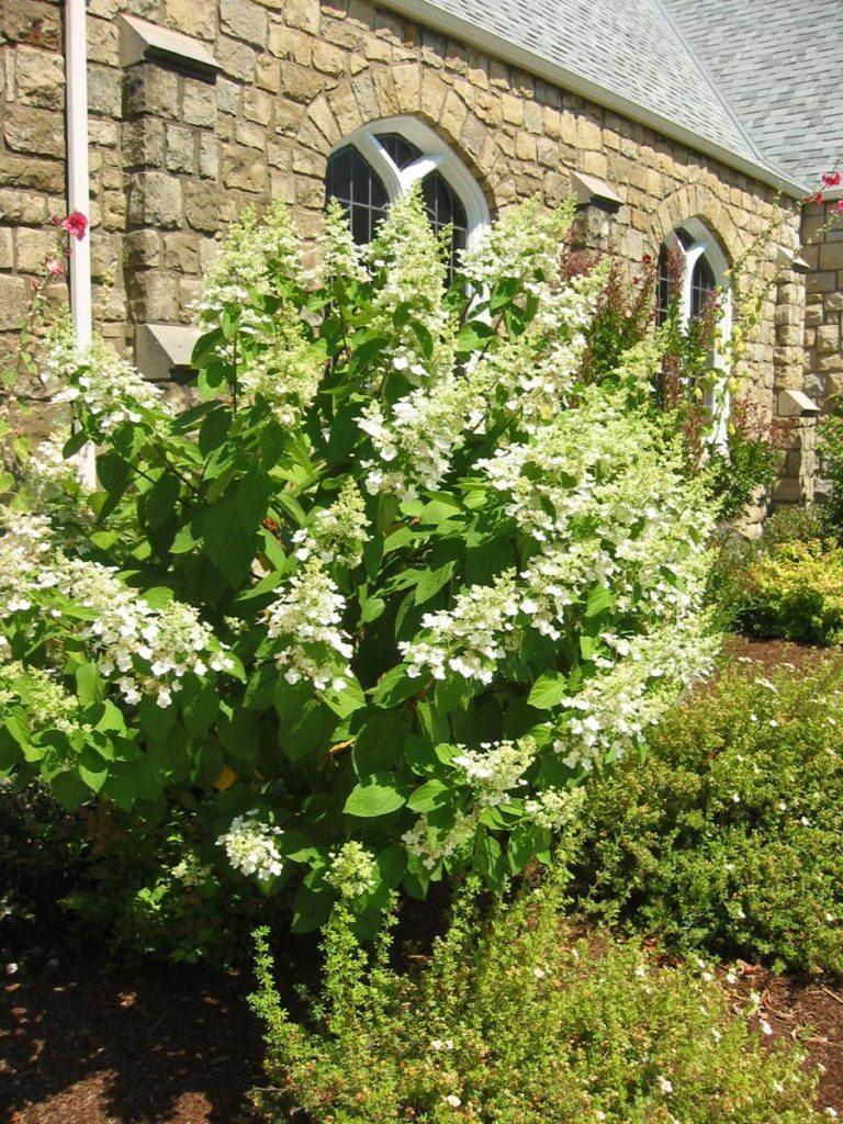 plants hydrangea paniculata