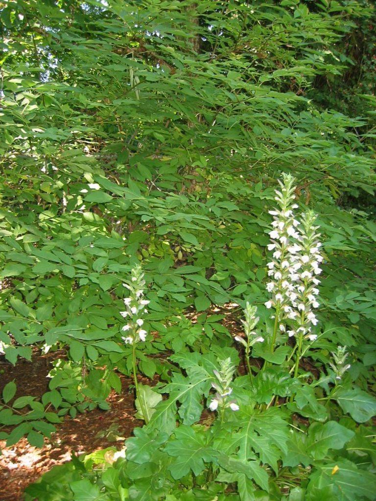 plants acnathus mollis with sambucus caerulea Blue Elderberry