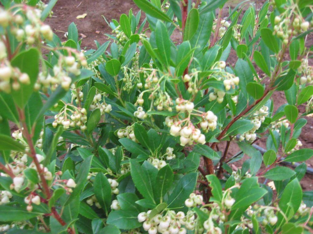 plants arbutus unedo compacta