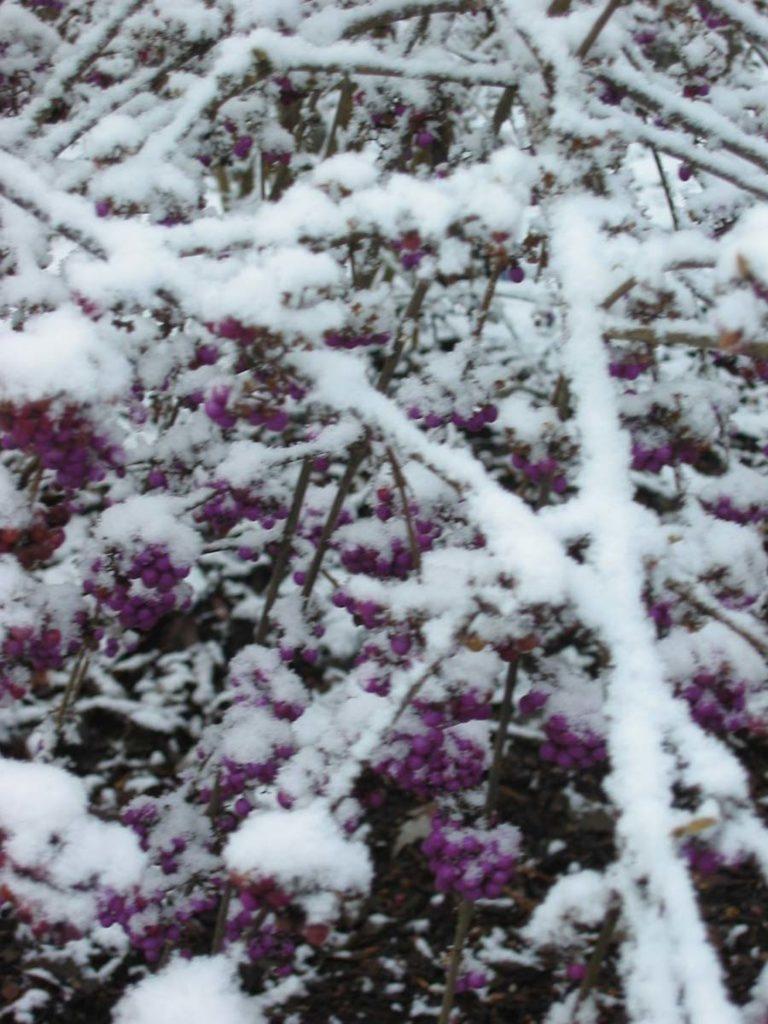 plants callicarpa bodinieri 'Profusion'