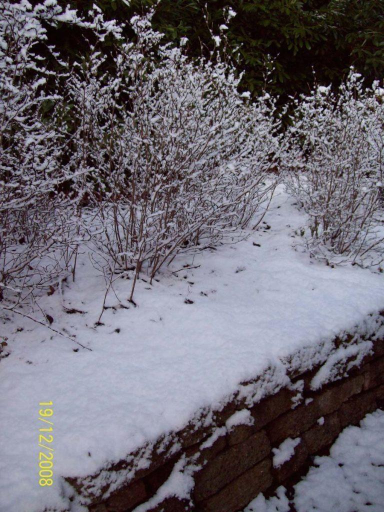 plants fothergilla gardenii