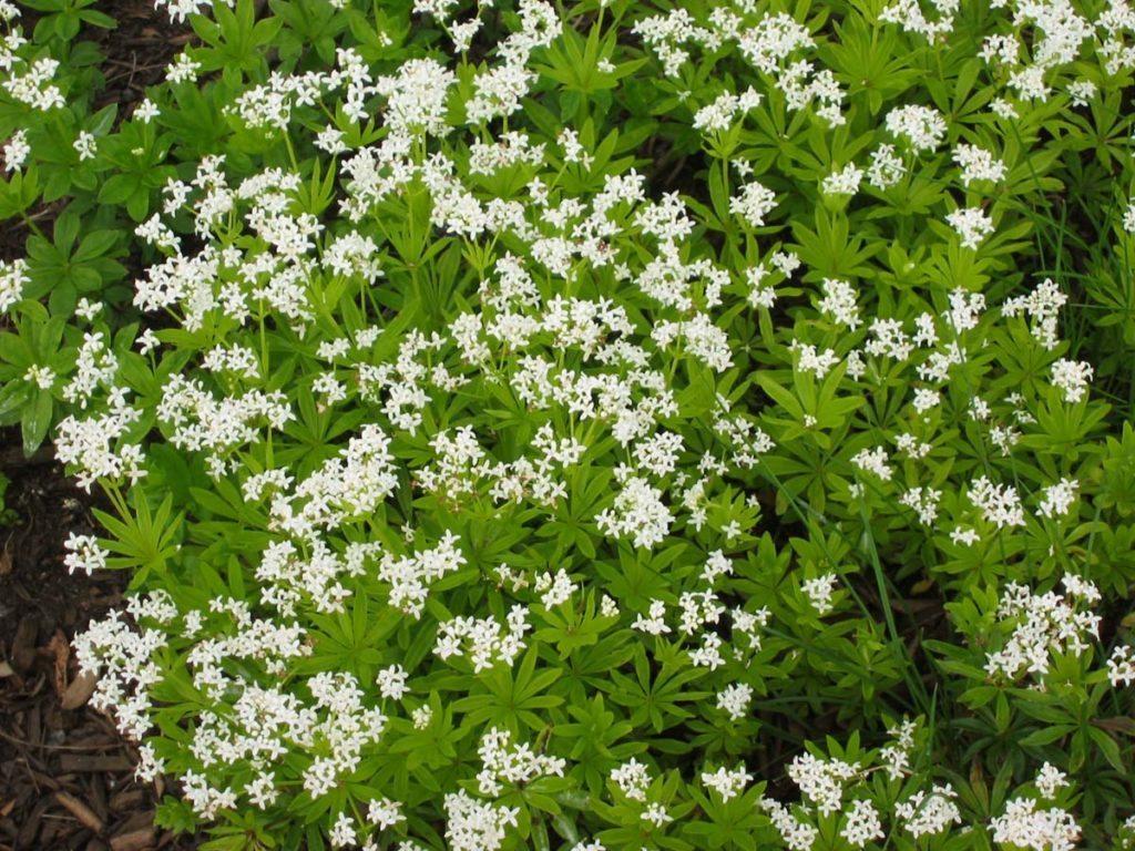 plants gallium odoratum - Sweet Woodruff