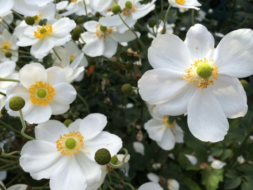 plants anemone