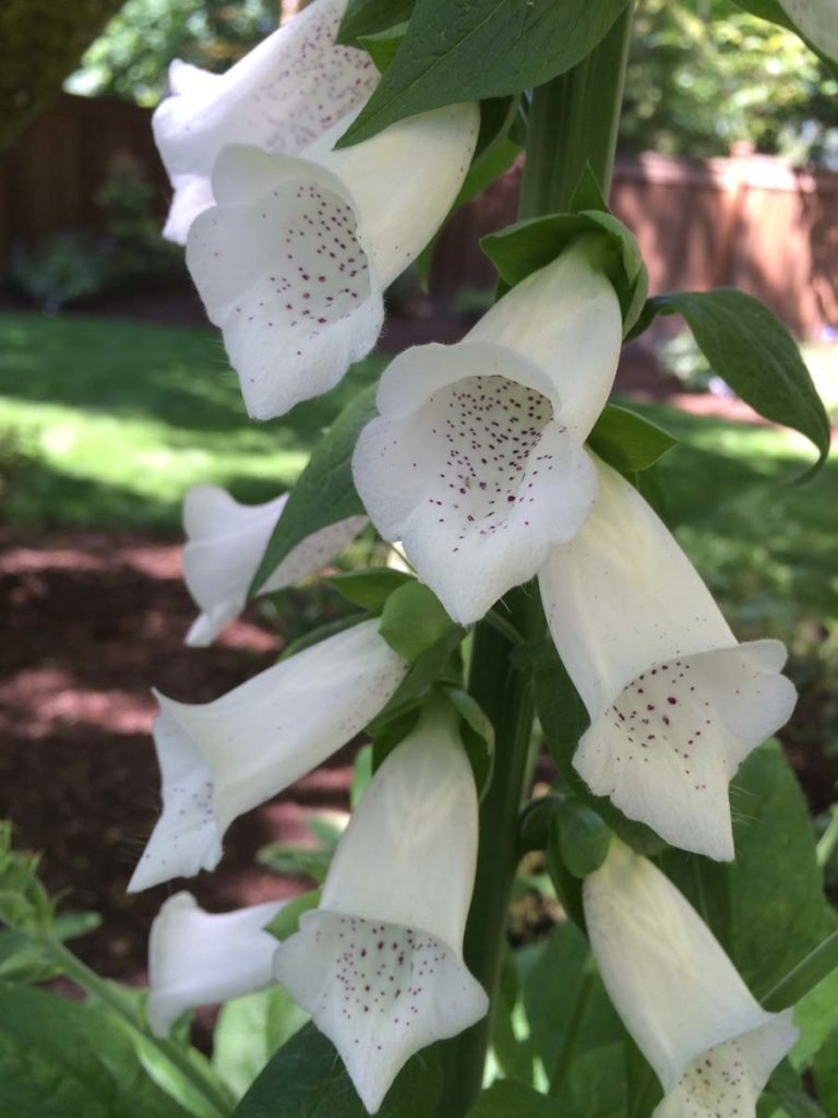 plants digitalis 'camelot white'