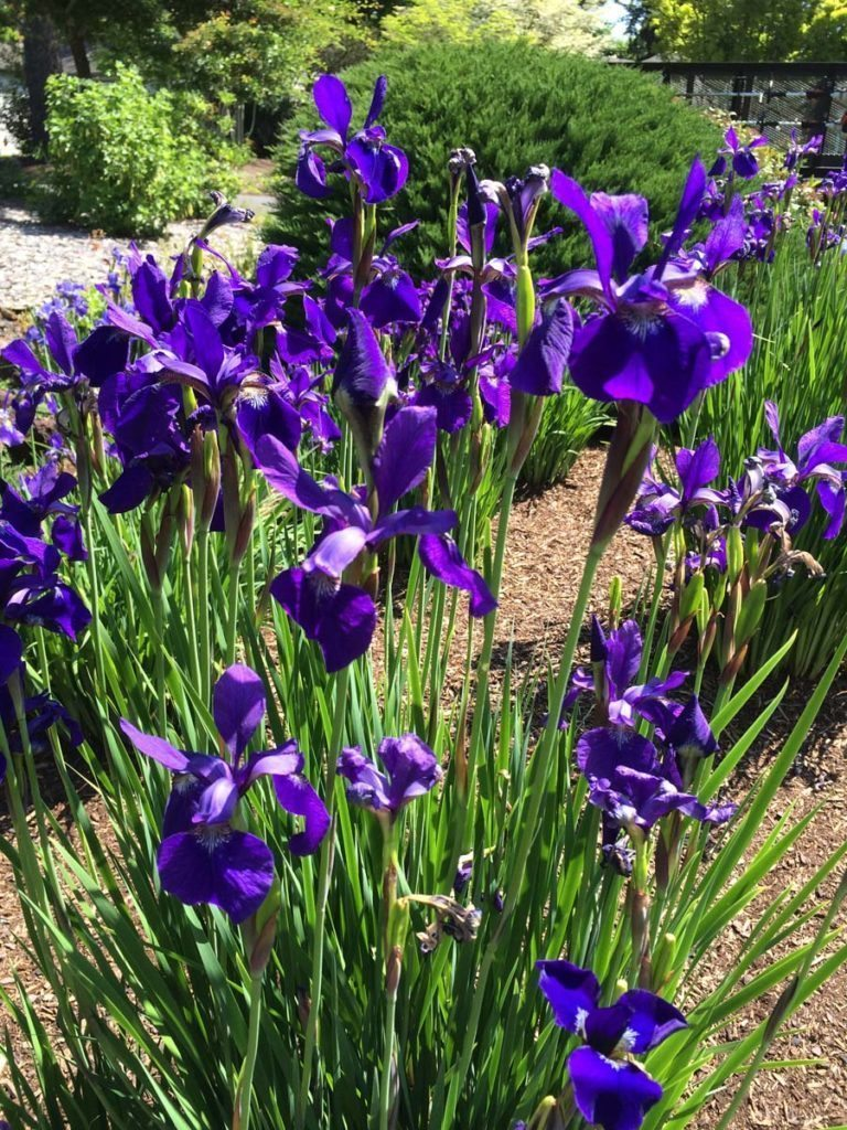 plants iris siberica