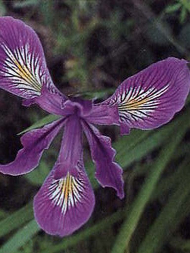 plants iris tenax flower