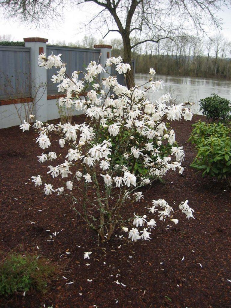 plants magnolia stellata