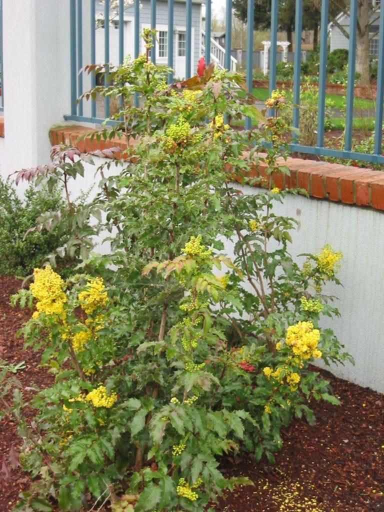 plants mahonia acquifolium