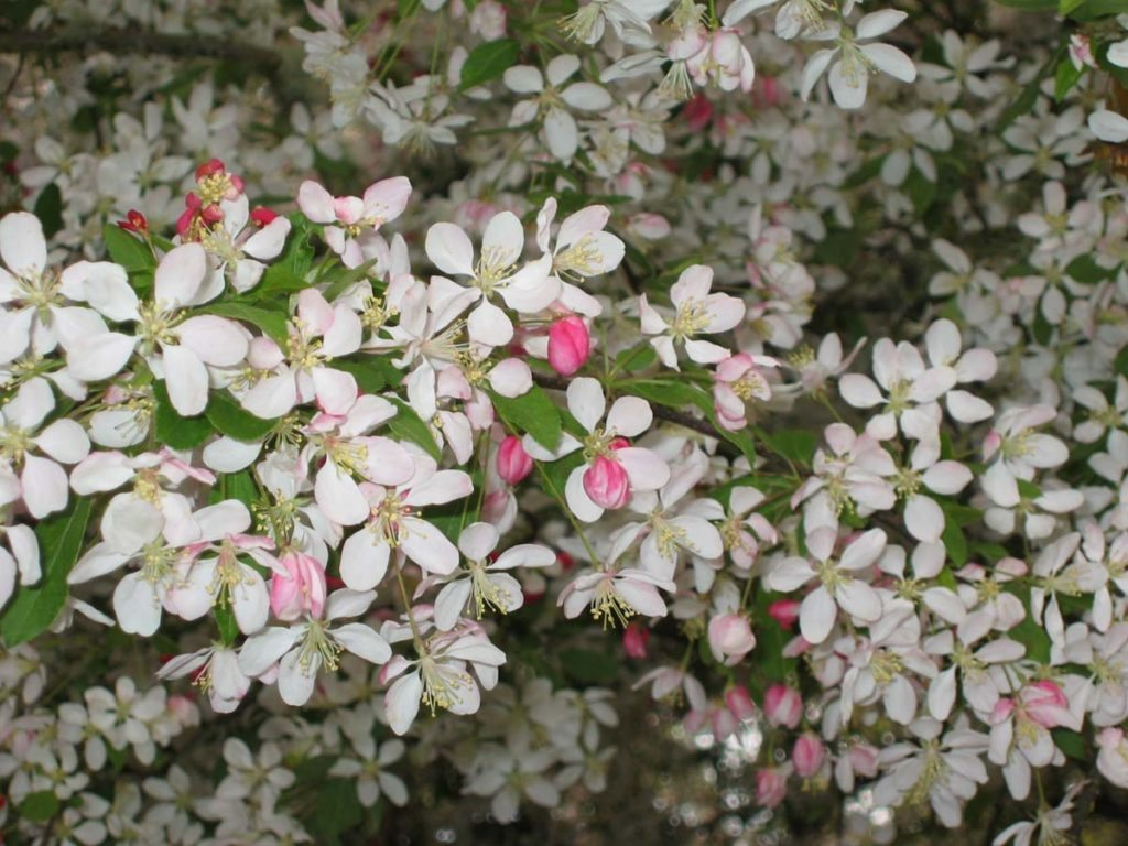 plants malus