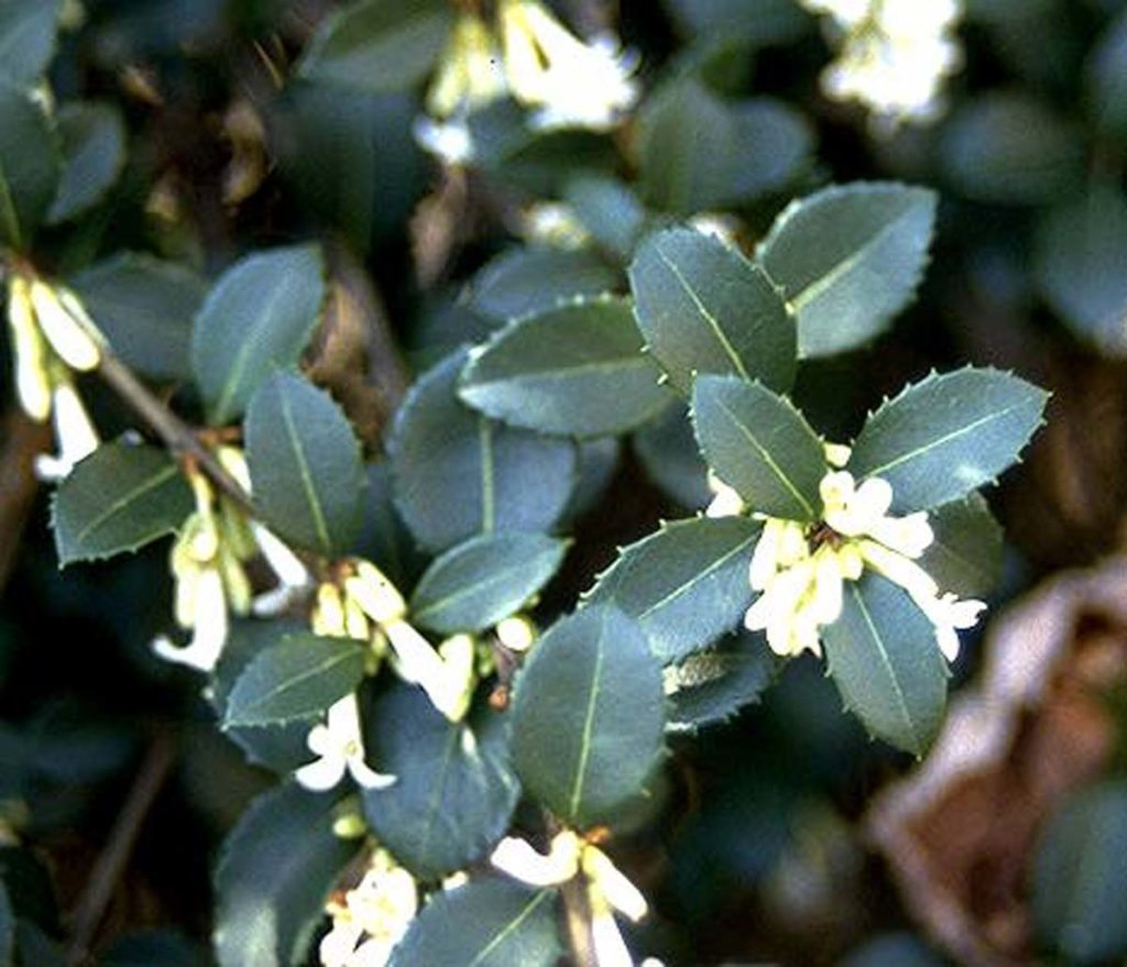 plants osmanthus leaf