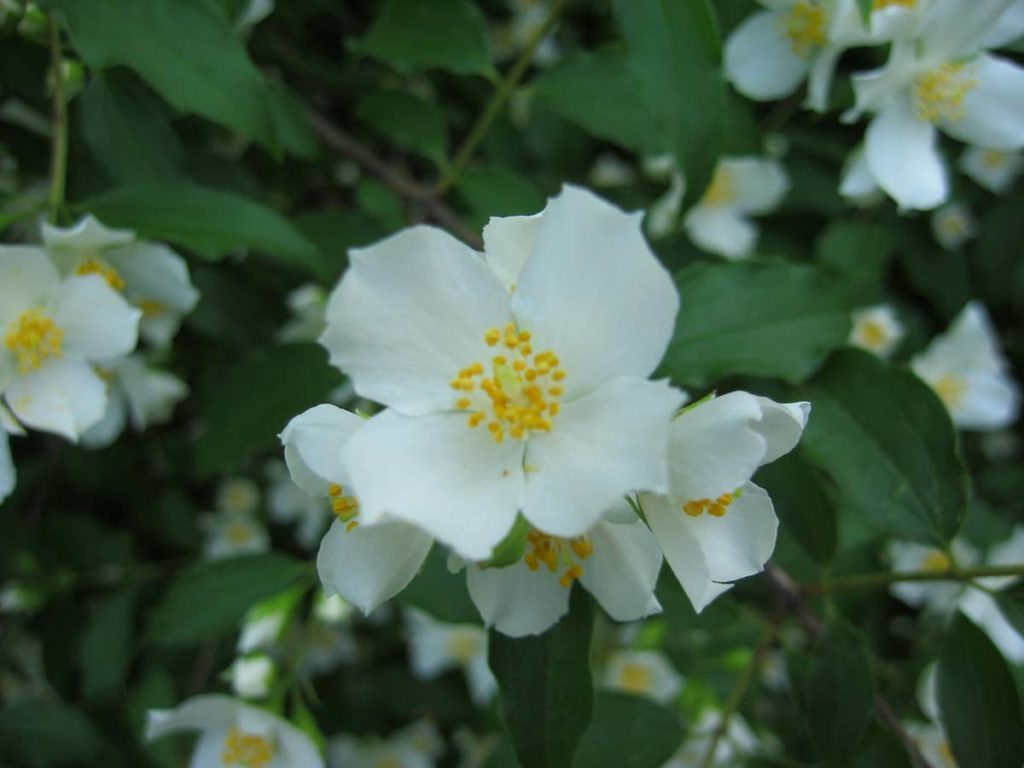 plants philadelphus virginiana