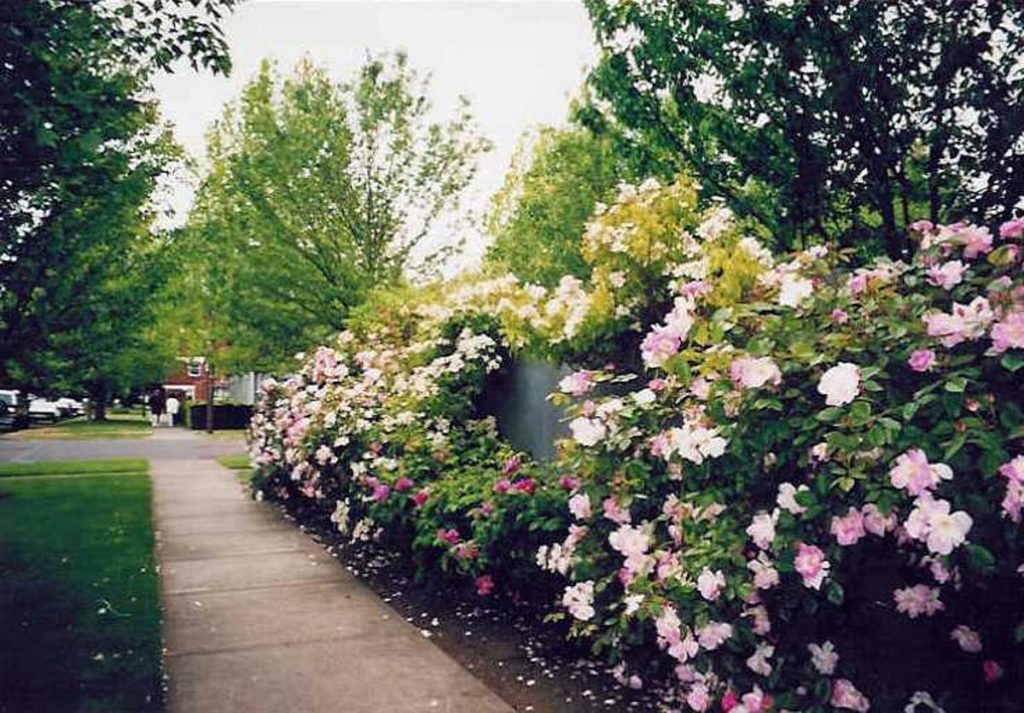 rose wall landscape design