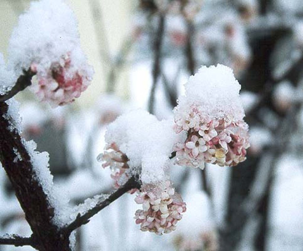 viburnum x bodnantense with snow landscape design plants