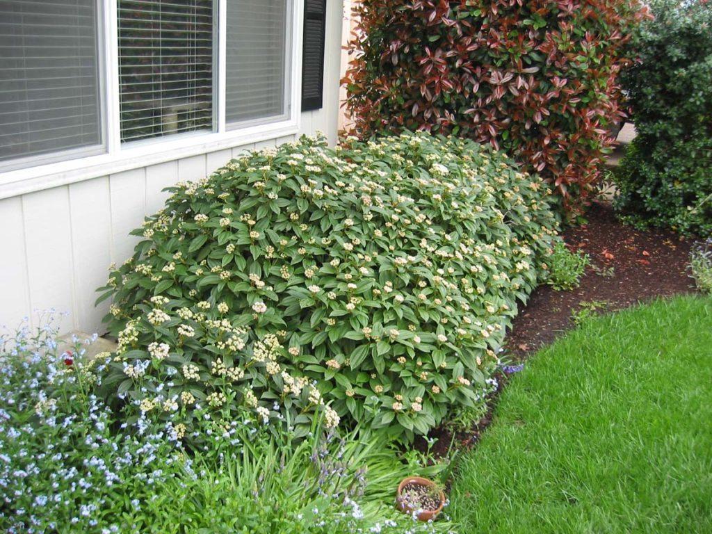 plants viburnum davidii