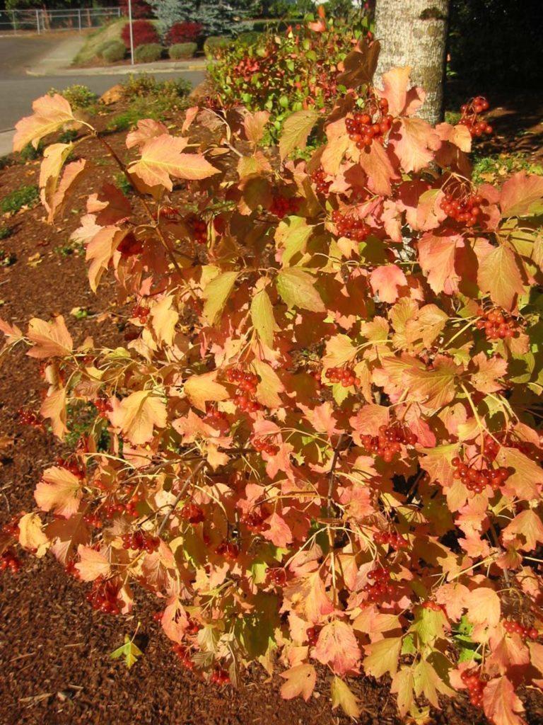 plants viburnum opulus 'compactum'
