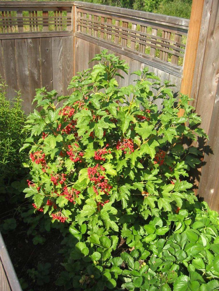 plants viburnum opulus European Cranberry