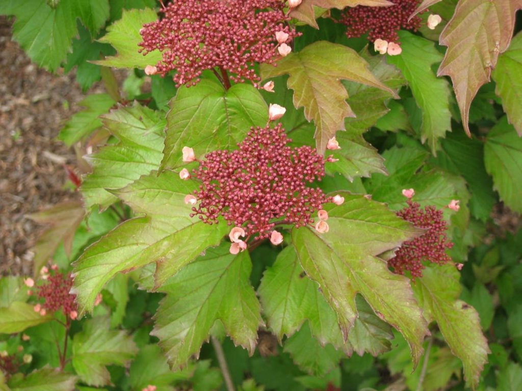 plants viburnum opulus Highbush Cranberry in landscape design