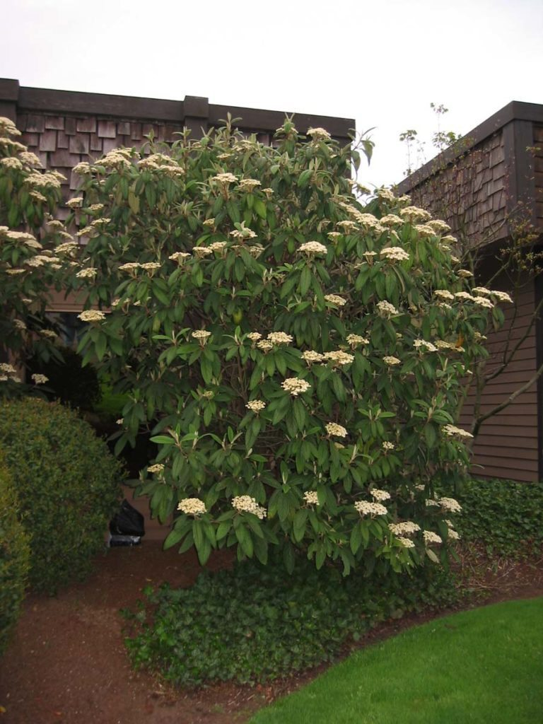 plants viburnum rhytidophyllum - Leatherleaf for landscape design