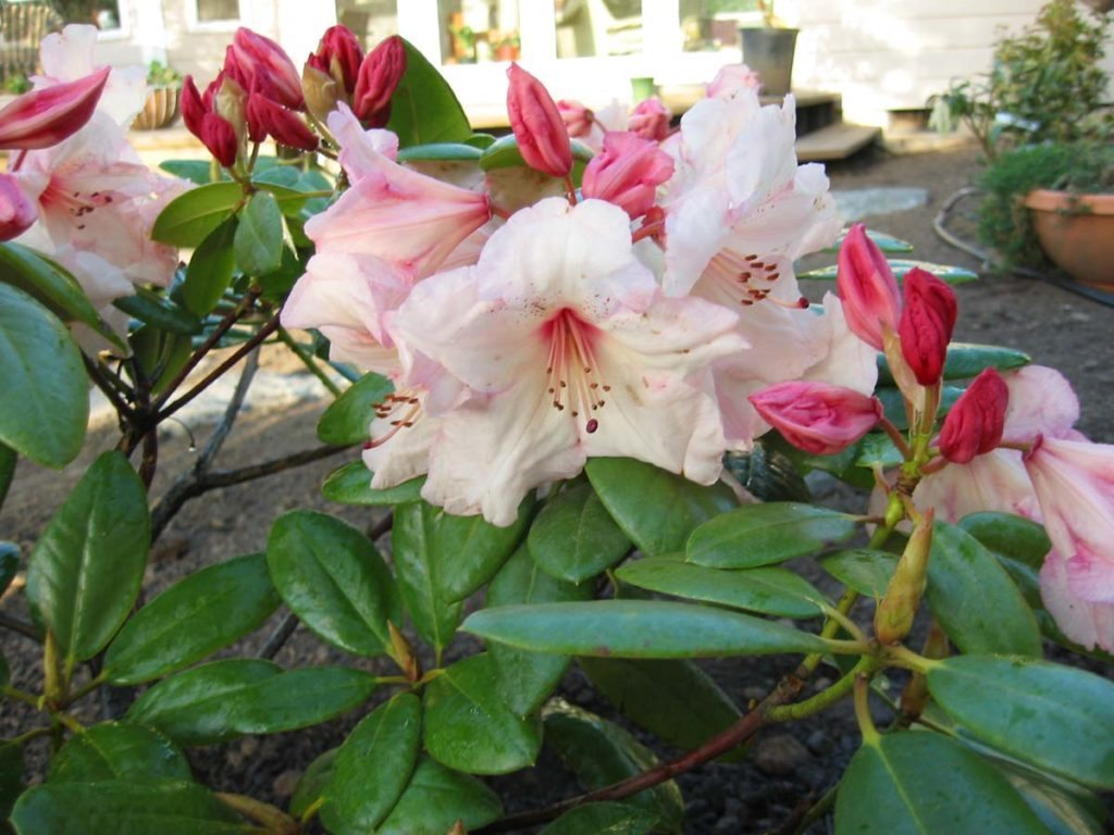 plants rhododendron Virginia Richards Bloom