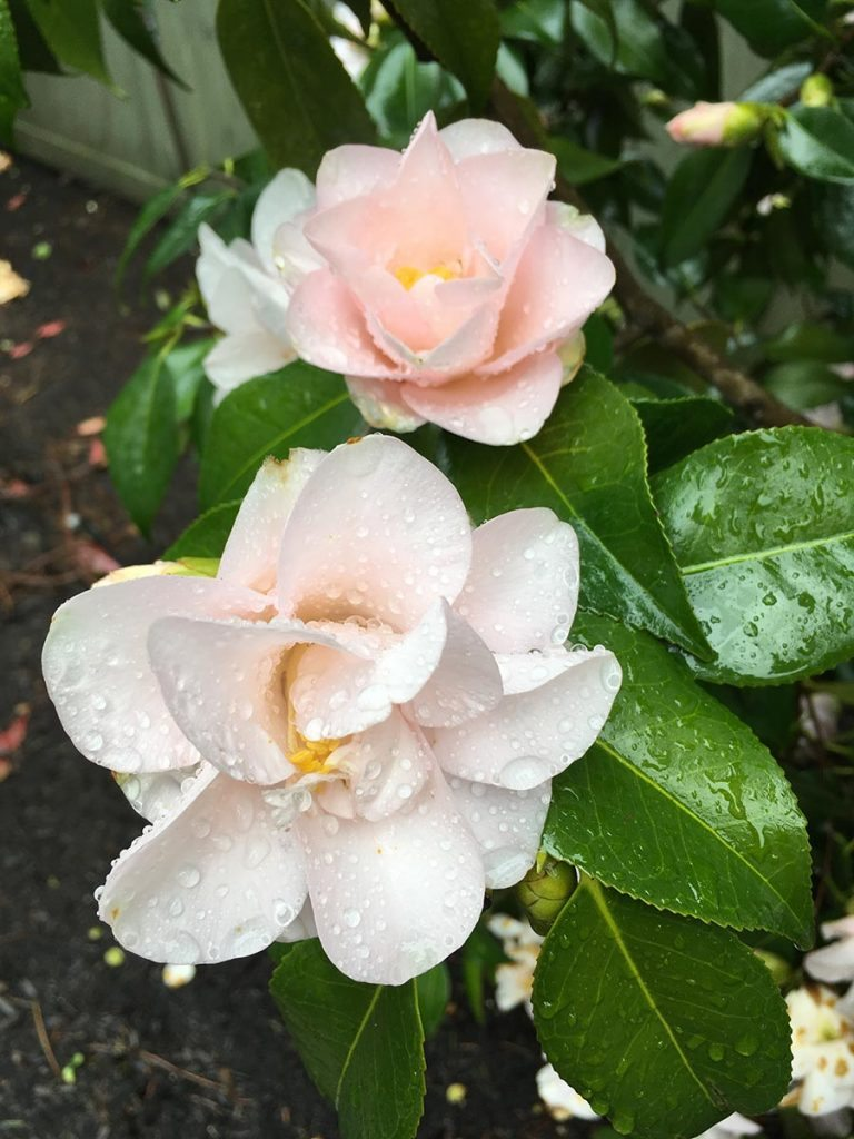 plants camellia japonica magnoliaeflora