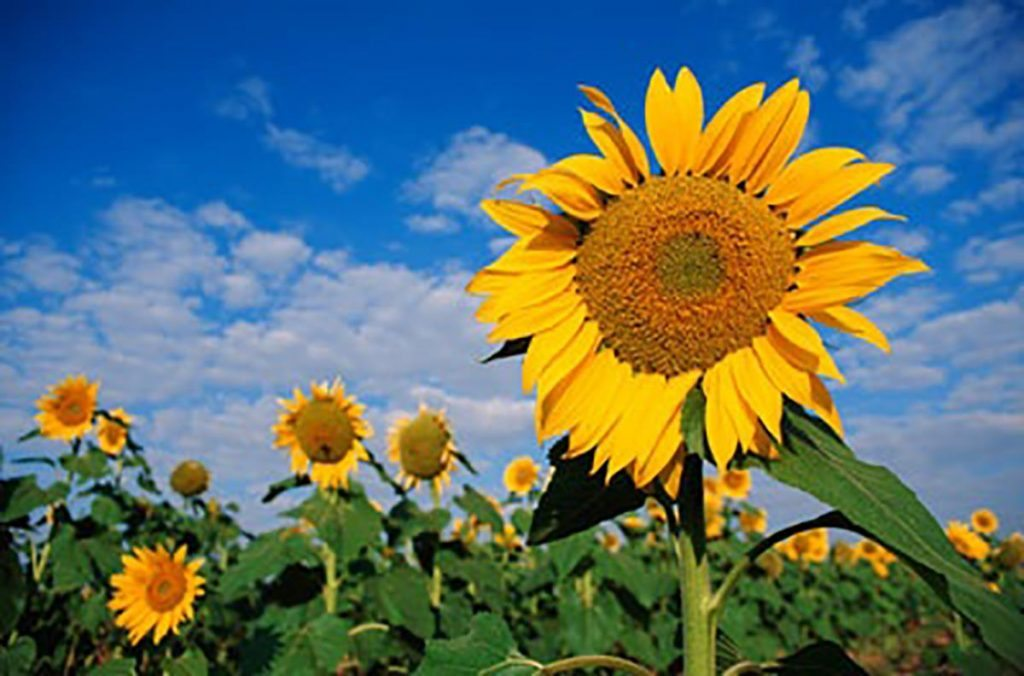 plants helianthus annuus SUNFLOWERS