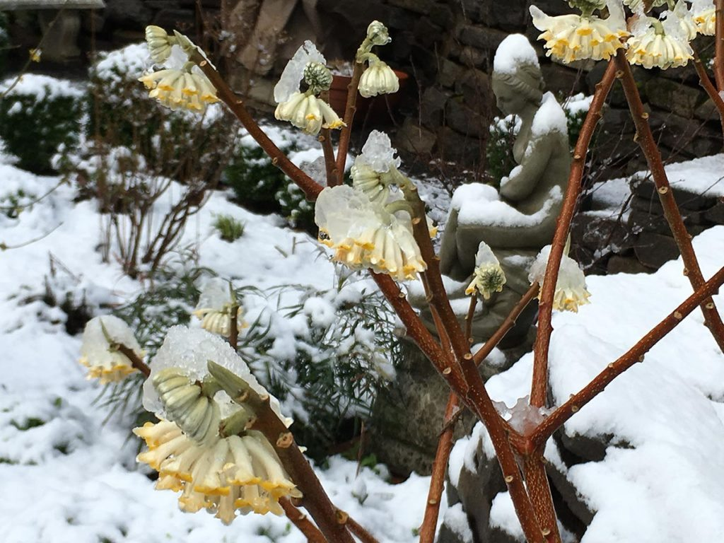 plants edgeworthia chrysantha 'nanjing gold'