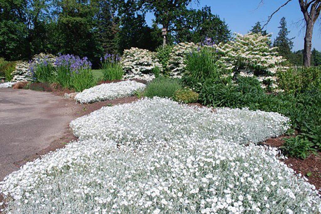 plants cerastium tomentosum