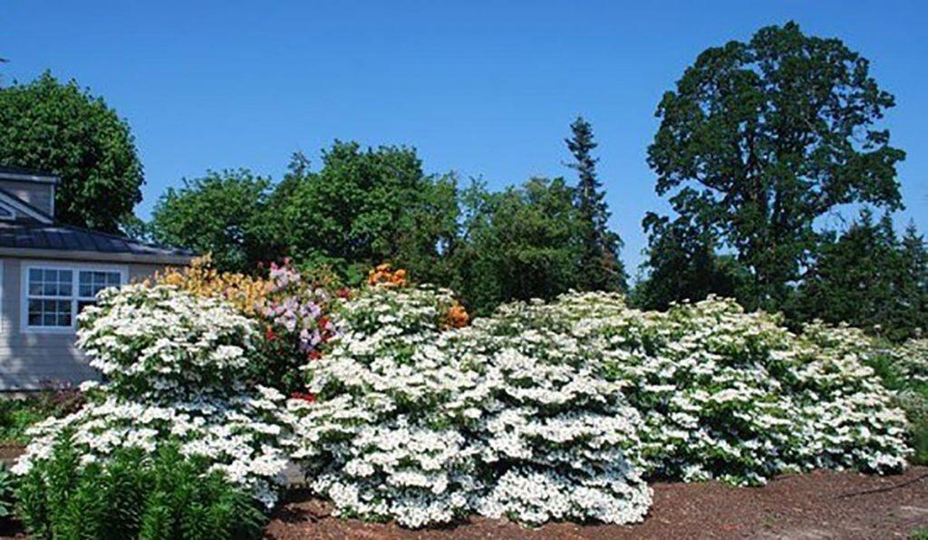 plants viburnum plicatum tomentosum in salem oregon