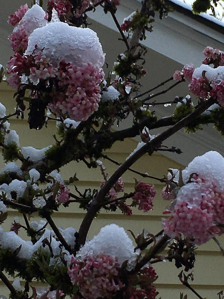 viburnum burwood landscape design with snow